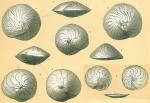 Amphistegina lessonii (several species represented see note)