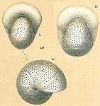 Melonis pompilioides