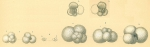 Globigerina bulloides