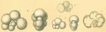 Globigerinella aequilateralis