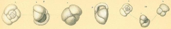Globorotalia inflata