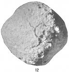 Crithionina mamilla