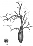 Pelosina arborescens