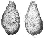 Proteonina difflugiformis