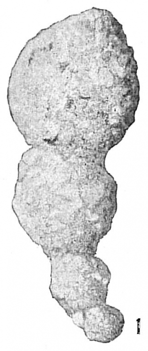 Reophax pilulifer