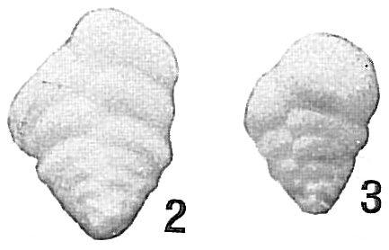 Textularia flintii curta