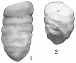 Tritaxilina caperata atlantica