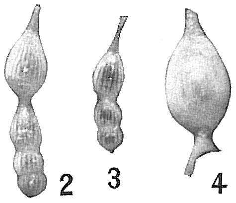 Nodosaria intercellularis