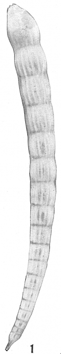 Nodosaria vertebralis albatrossi