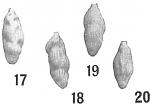 Uvigerina angulosa