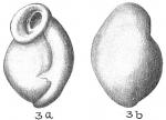 Planispirina auriculata