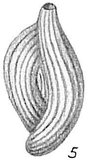 Quinqueloculina bicornis var. elegans
