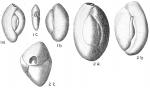 Quinqueloculina seminulum