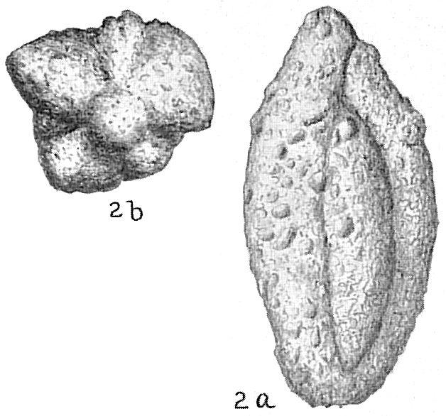 Schlumbergerina alveoliniformis occidentalis