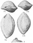 Sigmoilina schlumbergeri