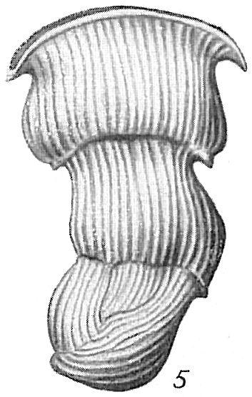 Vertebralina cassis var. mucronata