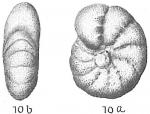 Elphidium incertum clavatum