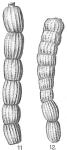 Monalysidium politum