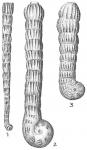 Spirolina acicularis
