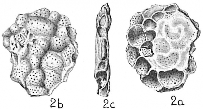 Acervulina inhaerens