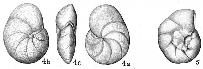 Cibicides concentrica
