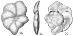 Cibicides lobatula