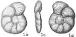 Cibicides sp.