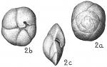 Eponides antillarum