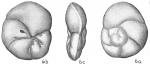 Eponides punctulata