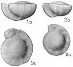 Gyroidina orbicularis