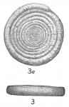 Ammodiscus incertus discoideus