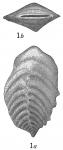 Bigenerina capreolus