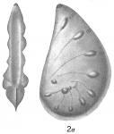 Cristellaria cassis