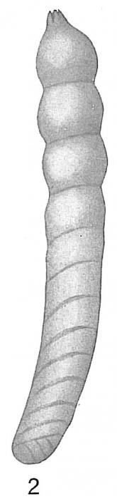 Cristellaria tenuis