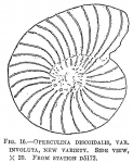 Operculina discoidalis involuta