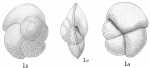 Pulvinulina canariensis