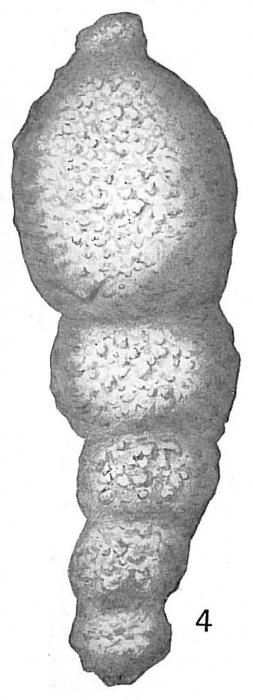Reophax dentaliniformis