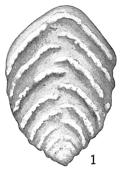 Textularia crassisepta