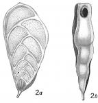 Textularia quadrilatera