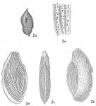 Triloculina rupertiana