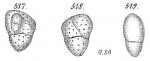 Allomorphina trigona
