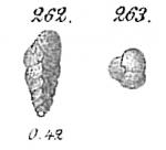 Eggerella arctica