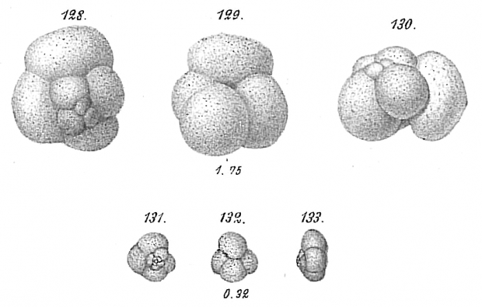 Haplophragmium globigeriniforme
