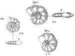 Operculina ammonoidea