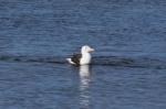Larus marinus, Great black-backed gull