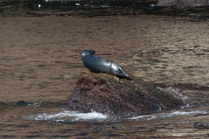 Grey seal - head profile