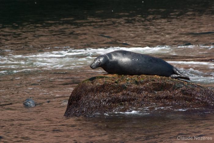 Grey seal - dorsal view