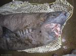 Greenland shark - head