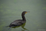 Phalacrocorax auritus,  double-crested cormorant swimming