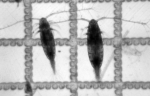 Acartia longiremis and A. tonsa
